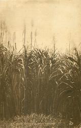 SUGAR CANES IN FLOWER, TRINIDAD