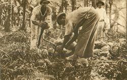 HUSKING COCO-NUTS, TRINIDAD