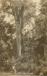 A CEDAR TREE, IN THE FOREST, TRINIDAD