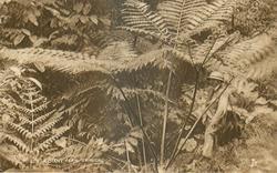 A GIANT FERN, TRINIDAD