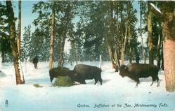 BUFFALOES AT THE ZOO, MONTMORENCY FALLS