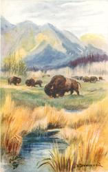 THE BUFFALOES AT BANFF