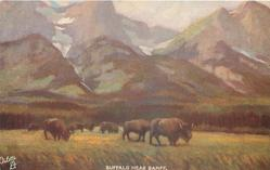 BUFFALO NEAR BANFF