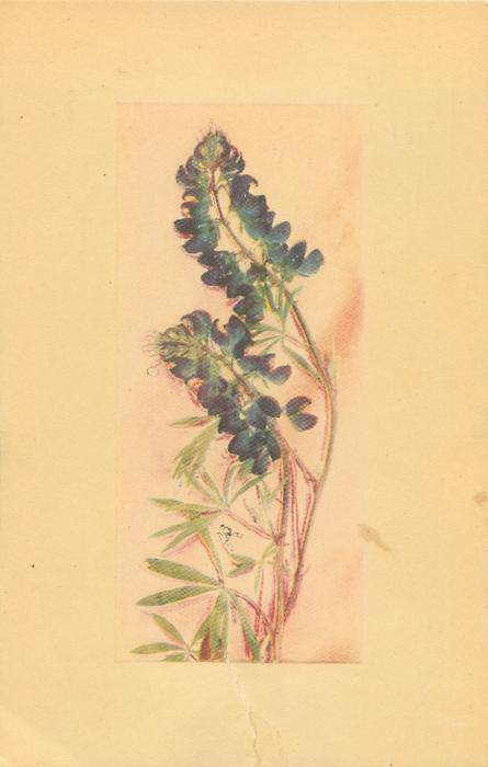 BLUE LUPINES - LUPINUS PERENNIS. GROWS THROUGHOUT THE YUKON VALLEYS//YUKON