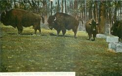 PORTION OF BUFFALO HERD