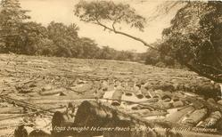 MAHOGANY LOGS BROUGHT TO LOWER REACH OF BELIZE RIVER