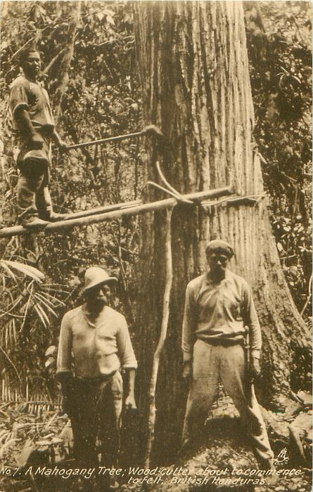 A MAHOGANY TREE, WOOD CUTTERS ABOUT TO COMMENCE TO FELL