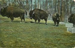 BUFFALO IN BRONX PARK