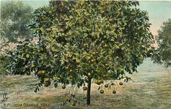 A FLORIDA ORANGE TREE