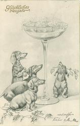 four dachshunds look longingly up at fantasy glass of champagne, one has sprig of holly in its mouth
