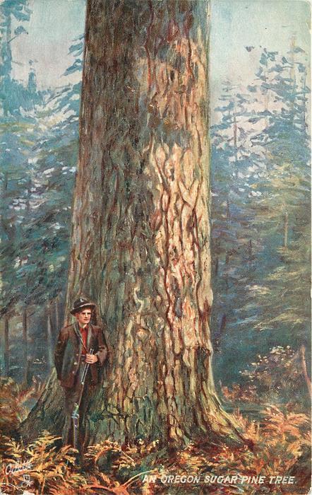 AN OREGON SUGAR PINE TREE