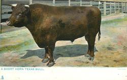 A SHORT HORN TEXAS BULL