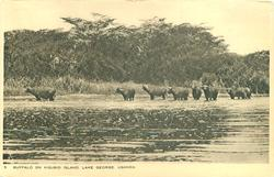 BUFFALO ON KIGUBIO ISLE, LAKE GEORGE