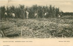 SOUTHERN SUGAR CANE FIELD