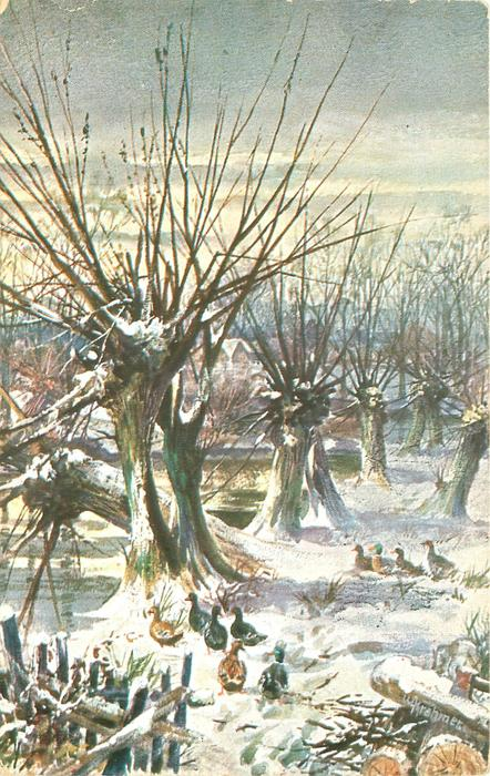 leafless pollarded willow trees,snow on trunks, ten ducks on ground
