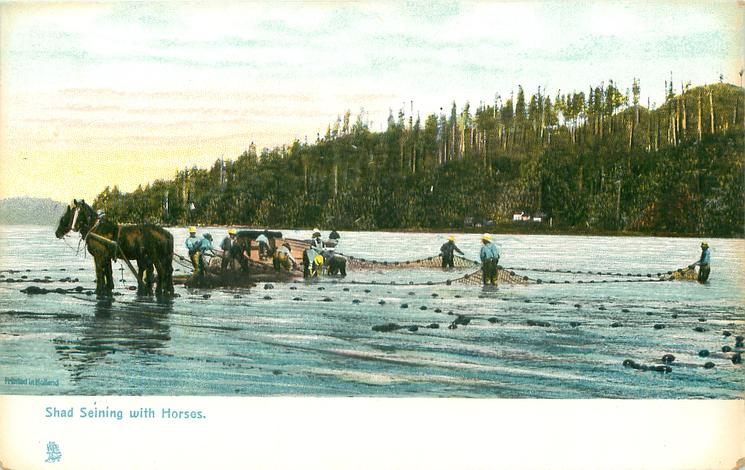 SHAD SEINING WITH HORSES