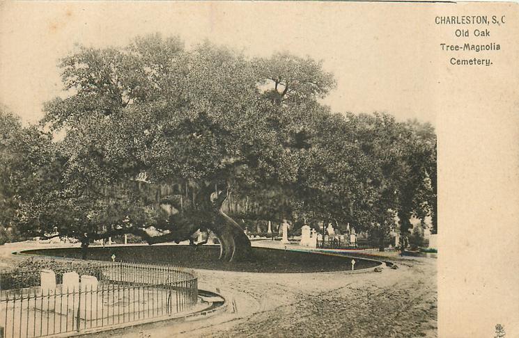 OLD OAK TREE - MAGNOLIA CEMETERY