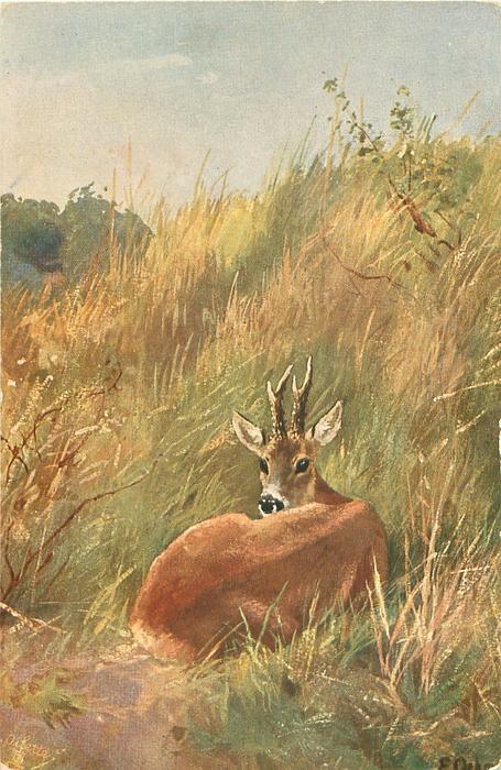 deer lying facing away, looking back over her shoulder