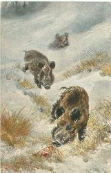 three wild boar in snow