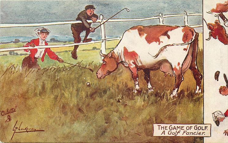 A GOLF FANCIER  lady golfer's ball just in front of angry cow's nose