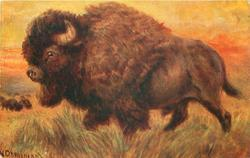 BUFFALO (KING OF THE PLAINS)