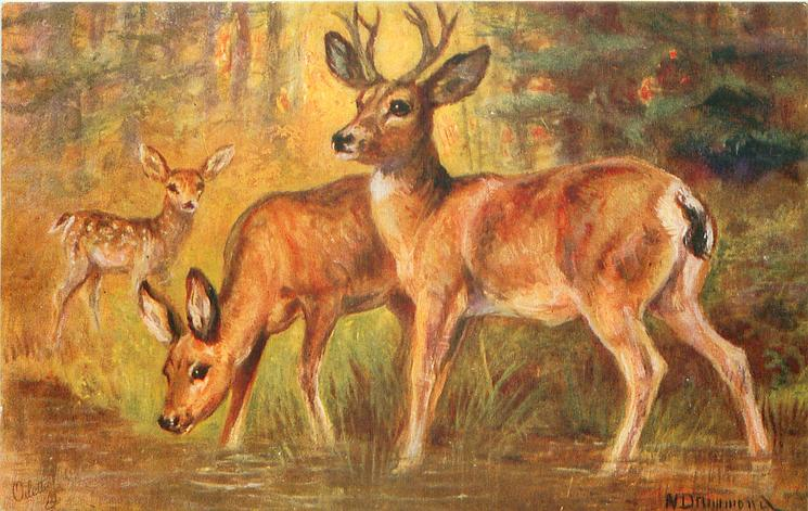 MULE DEER OF THE ROCKY MOUNTAINS