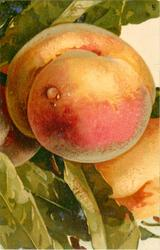two large peaches
