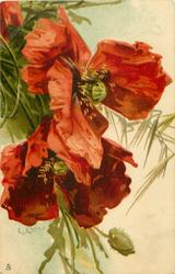 two poppies hanging down from upper left, bud at base of card