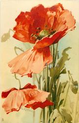 two poppies, one hangs its head, stalks vertical
