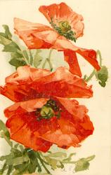 two poppies, stalks at left