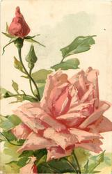 large pink open rose in centre, facing up, three buds above left, signature lower right