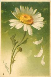 daisy, white petals, yellow centre, three petals falling