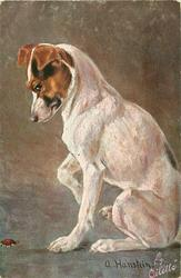 fox terrier sits facing left, looking down at beetle