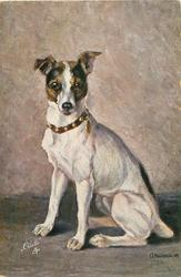 fox terrier sits facing left, looking front