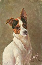 fox terrier sits facing right, looking front