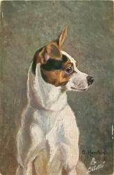 fox terrier sits facing front looking right