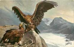 two eagles each holding the same nest building stick on rocky ledge, snow & mountains behind