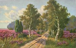 silver birch trees on either side of cental dirt road leading away, heather both sides