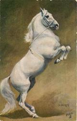 white horse on hind legs