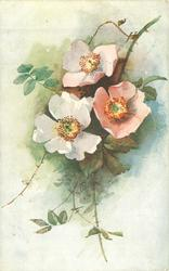 two open pink  and one white rose, stems to top right, and bottom center