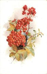 very many red fire-thorne berries