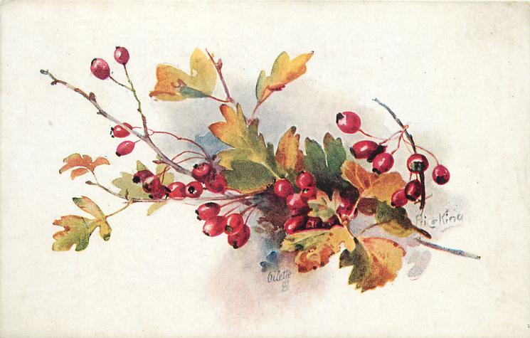 one branch of red hawthorn berries, three groupings on branch, one large twig near middle group