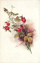 red rose hips, seven in three small groups, three left, two in each other group