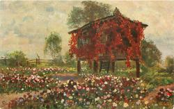 house covered with red creeper standing on stilts in field of many coloured flowers