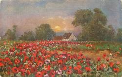large field of red/pink poppies in front of distant trees & building