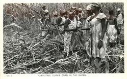 HARVESTING GUINEA CORN IN THE GAMBIA