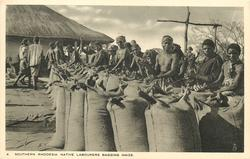 NATIVE LABOURERS BAGGING MAIZE