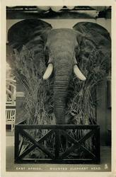 MOUNTED ELEPHANTS HEAD