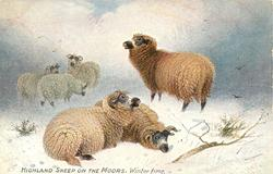 HIGHLAND SHEEP ON THE MOORS, WINTER TIME
