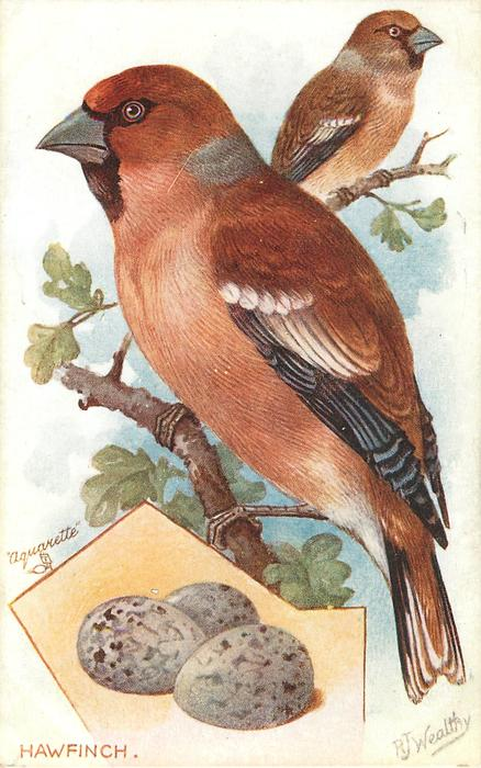 THE HAWFINCH